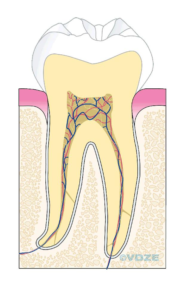 der gesunde Zahn